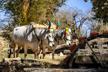 Water Wheel powered by cattle with colorful painted horns, Rajasthan, India