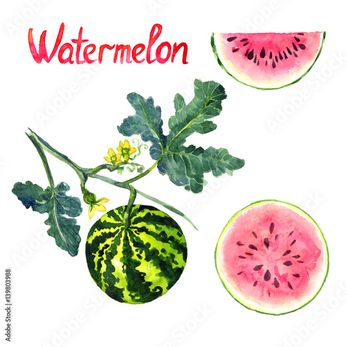 how to tell watermelon is ripe on plant