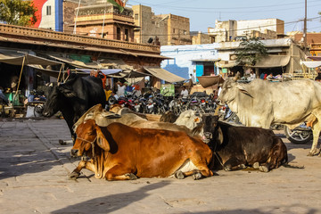 Group of holy cows in different colors sitting on a market place in Jodhpur, Rajasthan, India