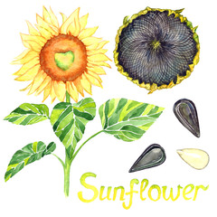 Sunflower blooming, ripe head and seeds, isolated hand painted watercolor illustration