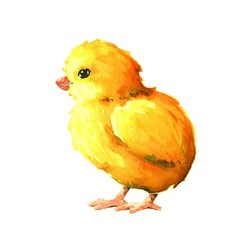Chick. Watercolor illustration