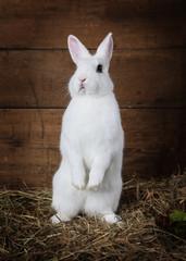 Rabbit standing on hind legs
