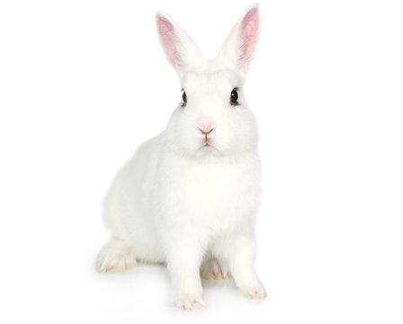 White Bunny isolated on white