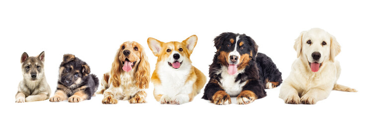 Wall Mural - Group of purebred dogs