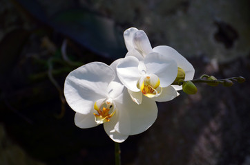 Flowers of a white orchid close-up in a rainforest