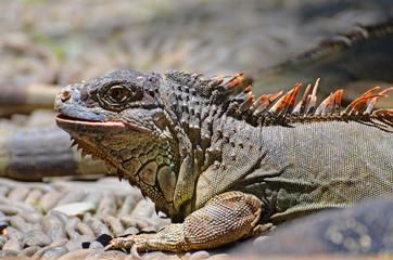 Iguanas lizards on the rocks in the rainforest