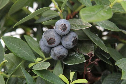 Preiselbeere mit roten Früchten