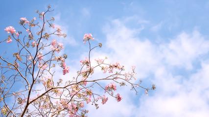 Wall Mural - Sakura flower or Tumpet tree on blue sky background