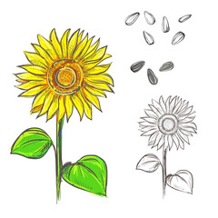 Hand drawn vector illustration set of color and monochrome sunflower, grain, seed. sketch. Vector eps 8