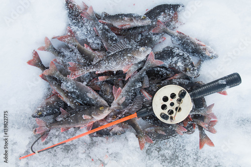 Pile of freshly caught frozen perch fish and a fishing for Frozen fishing pole