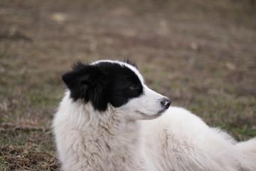 белая собака с черными ушами