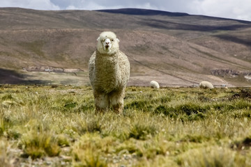 Cute fluffy Alpaca in Altiplano landscape, facing, Peru