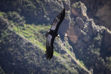 Majestic Condor andino gliding over the deep Colca Canyon at Cruz del Condor, Peru