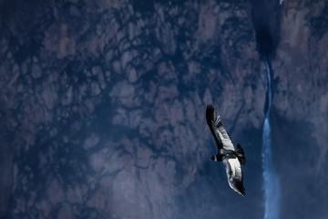 Majestic Condor andino gliding over the deep Colca Canyon at Cruz del Condor, Peru