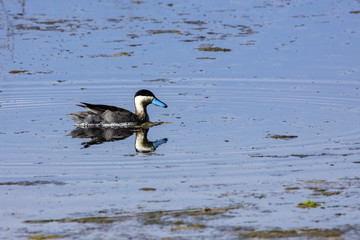 Puna teal reflected in the water on a shallow part of Lake Titicaca , Peru