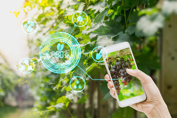 hand holding mobile phone inspecting grapes in agriculture garden with concept Modern technologies. Wall mural