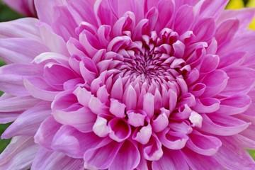 Foto op Canvas Macrofotografie Close up Chrysanthemum flowers in farm of Thailand