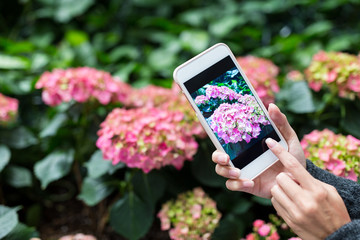 Woman taking photo on Hydrangea at garden