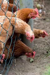Chicken behind a fence