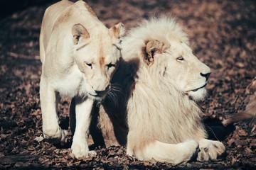 Beautiful albino white lion