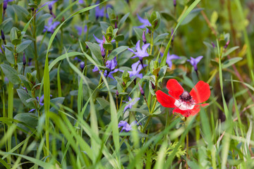 Red anemone with blue small fowers
