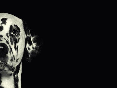 Dalmatian dog head against a black background
