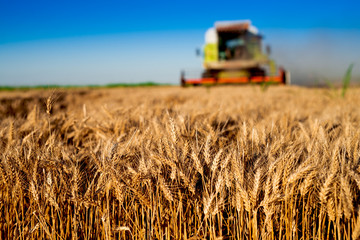 Closeup of wheat at field with combine working on background