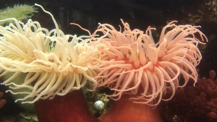 Sea anemone asexual reproduction of plants