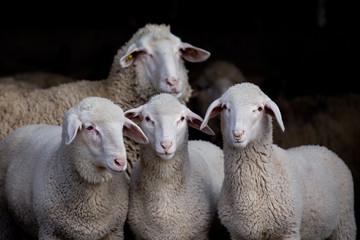 Lambs and sheep in barn