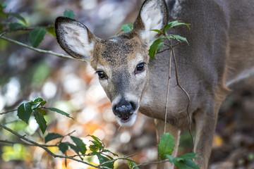 White Tail Deer peeking through a bush