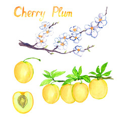 Cherry plum branch with flowers and fruits, isolated fruit and cut slice with pit, isolated hand painted watercolor illustration