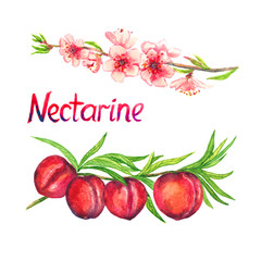 Nectarine branch with flowers and fruits, isolated hand painted watercolor illustration