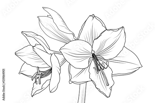 Amaryllis hippeastrum lilly flower isolated black and white outline amaryllis hippeastrum lilly flower isolated black and white outline sketch drawing closeup macro front view mightylinksfo