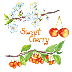 Sweet cherry branch with flowers and fruits, isolated hand painted watercolor illustration