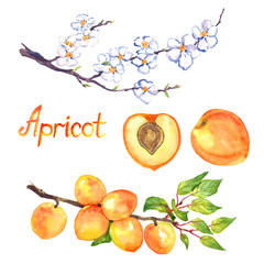 Apricot branch with flowers and fruits, isolated fruit and cut slice with pit, isolated hand painted watercolor illustration