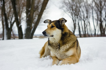 A dog is a friend of man. Old good dog on the river bank in winter