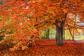 Bright Autumn Colors, Tree in the woods