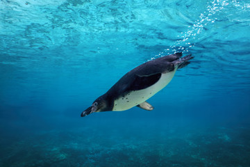 Humboldt penguin diving underwater