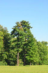 Evergreen pine tree