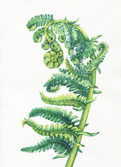 A fern unrolling a young frond. Polypodiopsida. Hand drawn watercolor painting. Background- watercolor paper.