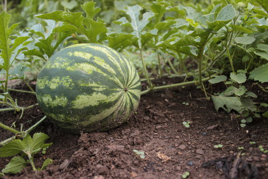 Watermelon on the Vine