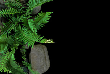 Sword fern or fishbone fern tropical plant growing in wild, top view of green leaves fronds with rocks and old wood trunk on black background.
