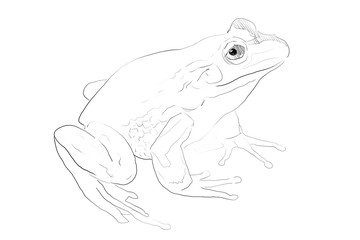 Hand drawn frog