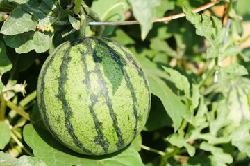 Watermelon fruit