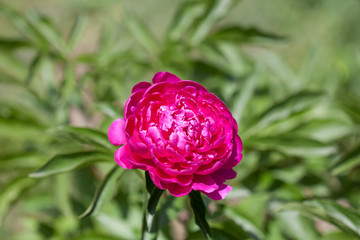 Beautiful red peony flower in the park, floral wallpaper