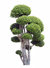 Bonsai trees on white background, Isolated image