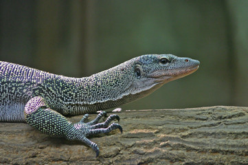 Lizard Profile