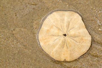 Sand dollar on wet sand