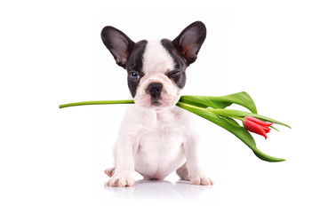 French bulldog puppy with tulip flower in muzzle