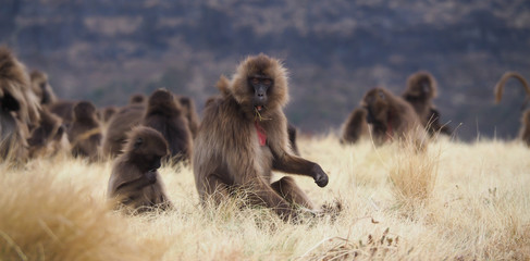 group of feeding Gelada baboons, Theropithecus gelada, in Ethiopia